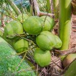 ココナッツを飲んだ後の再利用方法をブラジルで知った
